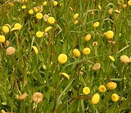 Cotula_coronopifolia_plant.jpg