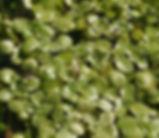 Callitriche_stagnalis_plant.jpg