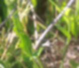 Ranunculus_californicus_plant.jpg