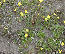 Hesperevax_sparsiflora_habitat.jpg