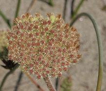 Daucus_pusillus_flower.jpg