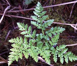 Pentagramma_trianularis_plant.jpg