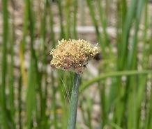 Schoenoplectus_acutus_flower.jpg