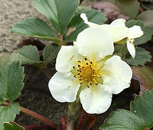 Fragaria_chiloensis_flower.jpg