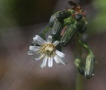 Hieracium_albiflorum_flower.jpg
