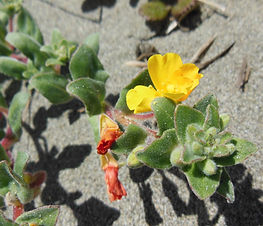 Camissoniopsis_cheiranthifolia_plant.jpg