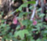 Ribes_sanguineum_plant.jpg