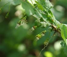 Ribes_divaricatum_flower.jpg