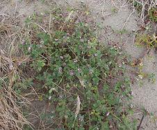 Trifolium_macraei_habitat.jpg