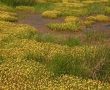 Cotula_coronopifolia_habitat.jpg
