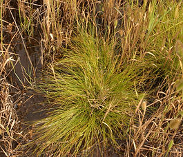 Scirpus_cernuus_plant.jpg
