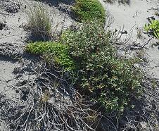 Polygonum_paronychia_habitat.jpg
