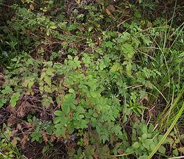 Rosa_nutkana_plant.jpg