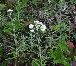 Anaphalis_margaritacea_plant.jpg