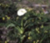 Zantedeschia_aethiopica_plant.jpg