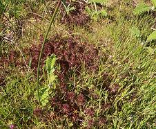 Triphysaria_pusilla_habitat.jpg