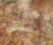 Aira_cariophyllea_flower.jpg