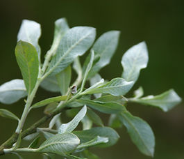 Salix_sitchensis_plant.jpg