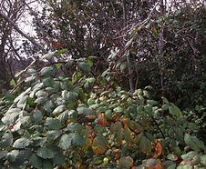 Rubus_armeniacus_habitat.jpg