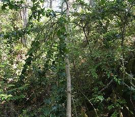 Ilex_aquifolium_plant.jpg