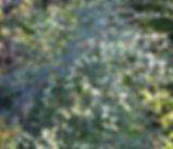 Cotoneaster_franchetii_plant.jpg