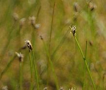 Eleocharis_pachycarpa_flower.jpg