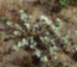 Atriplex_leucophylla_plant.jpg