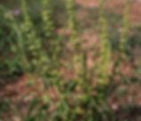 Rumex_crispus_plant.jpg