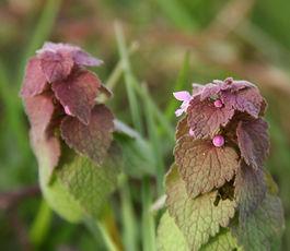 Lamium_purpureum_plant.jpg