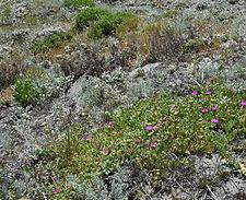 Carpobrotus_chilense_habitat.jpg