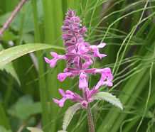 Stachys_chamissonis_flower.jpg
