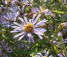 Symphyotrichum chilense_flower.jpg