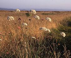 Daucus_carota_habitat.jpg