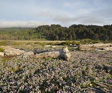 Lathyrus_littoralis_habitat.jpg