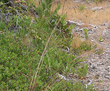 Festuca_occidentalis_habitat.jpg