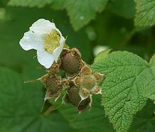 Rubus_parviflorus_flower.jpg