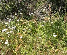 Oenanthe_sarmentosa_habitat.jpg