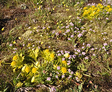 Sanicula_arctopoides_habitat.jpg