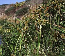 Cyperus_eragrostis_plant.jpg