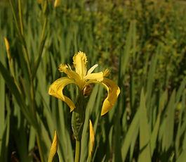 Iris_pseudacorus_plant.JPG