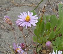 Corethrogyne_filaginifolia_flower.jpg