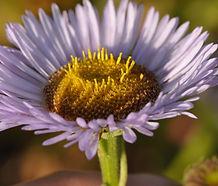 Erigeron_glaucus_flower.jpg