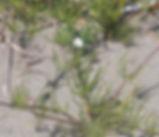 Spergula_arvensis_plant.jpg