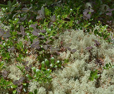 Lonicera_hispidula_habitat.jpg