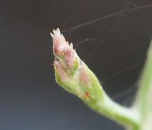 Pseudognaphalium_ramosissimum_flower.jpg