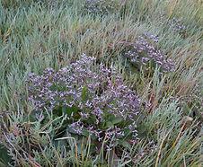 Limonium_californicum_habitat.jpg