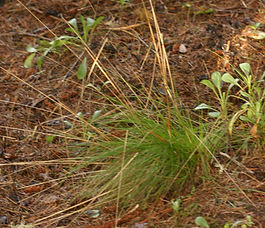 Festuca_occidentalis_plant.jpg