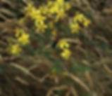 Hypericum_perforatum_plant.jpg