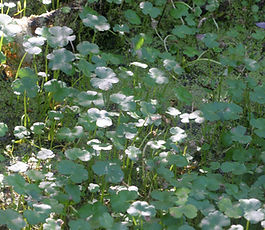 Hydrocotyle_ranunculoides_plant.jpg