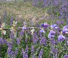 Lupinus_rivularis_flower.jpg